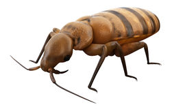 A bed bug Stock Photography