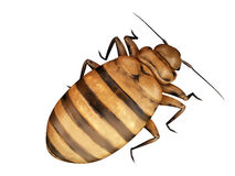 A bed bug Royalty Free Stock Images