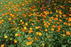 Bed of Buoyant Cosmos. Buoyant, yellow, orange cosmos flowers swaying amidst green leaves Stock Photos