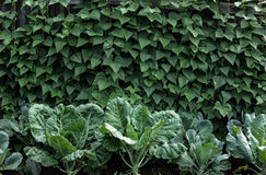 Bed with cabbage and bean stalks Stock Photography