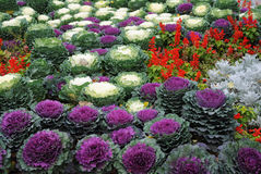 Bed with cauliflowers and flowers stock photo