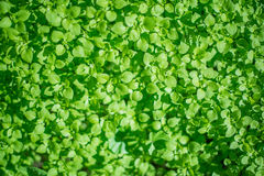 Bed of Clovers. Day lit bed of clovers. Can you find the 4 leaf clover royalty free stock photography