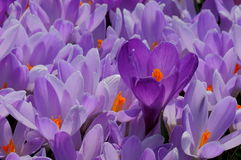 Bed of Crocus. Many Purple Crocus Blooming in Spring Stock Images