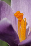 Bed of Crocus. Many Purple Crocus Blooming in Spring Royalty Free Stock Image