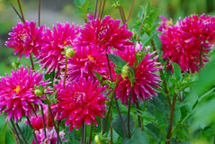 Bed of dahlia Royalty Free Stock Image