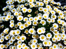 Bed of Daisies Royalty Free Stock Photography