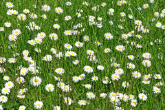 Bed of daisies Royalty Free Stock Photo