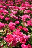 Deep pink roses outdoor sunlight garden. A bed of deep pink roses named Joseph Guy or Lafayette. Outdoor, garden, sunlight stock images