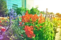 Bed die van lavendel in de zonsondergang bloeien royalty-vrije stock foto's