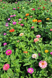 Bed from fine red zinnia Stock Photos