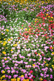 Bed of flowers Royalty Free Stock Photos