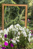 The bed of flowers of Petunia in the Park in front of the frame. The bed of flowers of Petunia in the Park and an empty wooden frame on a background of foliage Royalty Free Stock Images