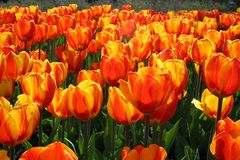 Tulips, signs of springs arrival royalty free stock photo