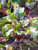 Bed in a garden with beet Stock Image