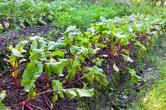 Bed in a garden with beet shoots Stock Images