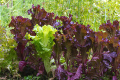 Bed of green and purple lettuce Royalty Free Stock Images