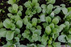 Bed of growing radishes in the garden. Top view Royalty Free Stock Photos