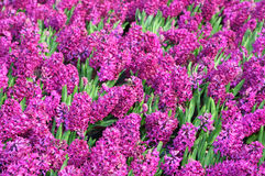 Bed of Hyacinths Royalty Free Stock Images