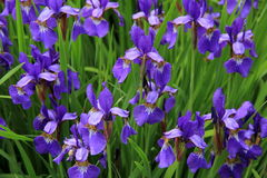 Bed of Japanese Iris Stock Photos