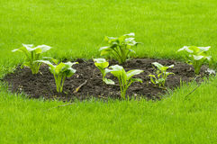 Bed on a lawn.Hosta. Stock Photo