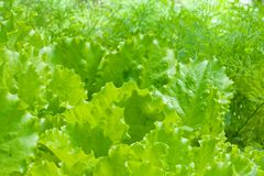 Bed of lettuce Stock Photo