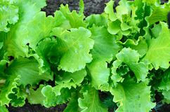 A bed of lettuce Stock Photos