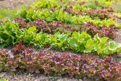 Bed of lettuce Royalty Free Stock Photo