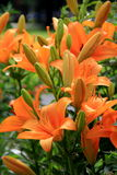 Bed of lush,healthy tiger lillies Royalty Free Stock Photo