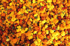 Bed of marigolds Royalty Free Stock Images