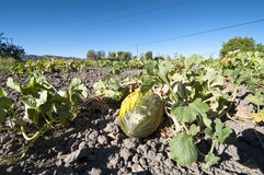 Bed of melons Stock Image