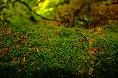 Bed of Moss Royalty Free Stock Images