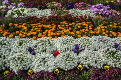 Bed of multi colored flowers. Multi colored flowers of different plants forming colorful bed surface stock photos