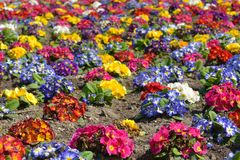 Bed, multi-colored Prima flowers in park of Royalty Free Stock Photo