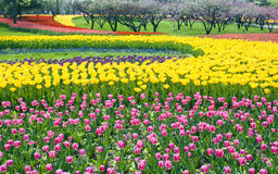 Bed of Multicolored tulips Royalty Free Stock Image
