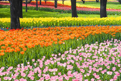 Bed of Multicolored tulips Royalty Free Stock Images