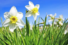 Bed of narcissus Royalty Free Stock Photos