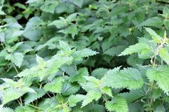 Bed of nettles. Bed of green nettles closeup stock image