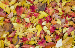 Bed Of Autumnal Leaves Royalty Free Stock Images