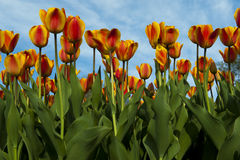 Bed of orange and yellow tulips Royalty Free Stock Photo