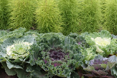 Bed of ornamental cabbage. Or kale, with decorative herbs on background Royalty Free Stock Images