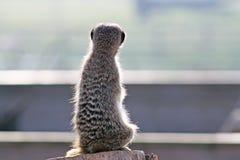 bedöva för meerkat Arkivfoton