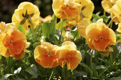 Bed of Pansies Stock Images