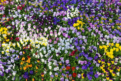 Bed of pansies stock photography