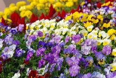 Bed of pansies Royalty Free Stock Photos
