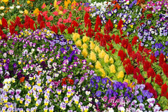 Bed of pansies and cockscomb flowers Stock Photography