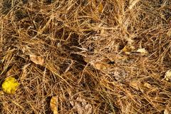 Bed of pine needles Stock Image