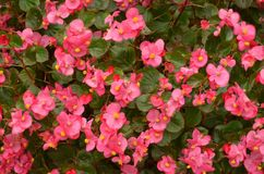A Bed of Pink Begonias stock photography