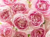 Bed of pink roses royalty free stock photos