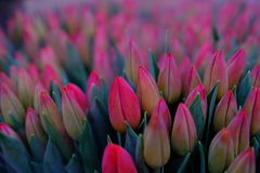 Bed of Pink Tulips Flower Stock Photo