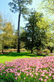 Bed of Pink Tulips in Park Royalty Free Stock Photo